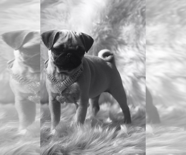Medium Photo #12 Pug Puppy For Sale in CANTON, CT, USA
