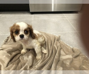 Cavalier King Charles Spaniel Puppy for sale in CITRUS RIDGE, FL, USA
