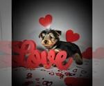 Puppy 4 Yorkshire Terrier