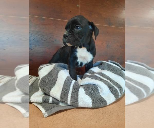 Medium Photo #2 Boxer Puppy For Sale in DILLSBORO, IN, USA