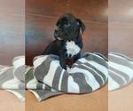 Small Photo #2 Boxer Puppy For Sale in DILLSBORO, IN, USA