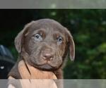Puppy 6 Shepradors