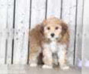 Yorkshire Terrier Dog for Adoption in MOUNT VERNON, Ohio USA