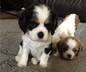 Cavalier King Charles Spaniel Puppy for Sale in BOZEMAN, Montana USA