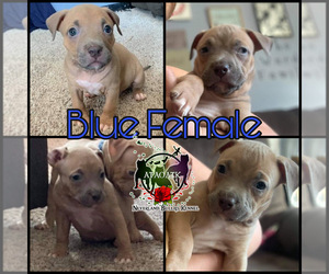 American Bully Puppy for sale in MARYSVILLE, OH, USA
