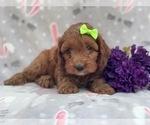 Small #7 Cocker Spaniel-Poodle (Miniature) Mix