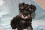 Schnauzer (Miniature) Puppy For Sale in TENAHA, TX, USA