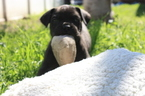 Cane Corso Puppy For Sale in POMONA, CA