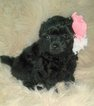Pomeranian-Poodle (Toy) Mix Puppy For Sale in PITTSVILLE, WI, USA