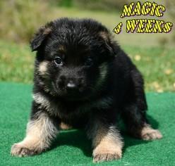 Doberman Dogs For Sale San Antonio Tx