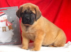 Mastiff Puppy For Sale in MOUNT JOY, PA, USA
