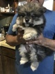 Pomsky Puppy For Sale in EAST HAVEN, Connecticut,