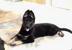German Shepherd Dog Puppy For Sale in ORLANDO, FL