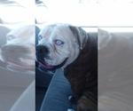 Small #3 Olde English Bulldogge