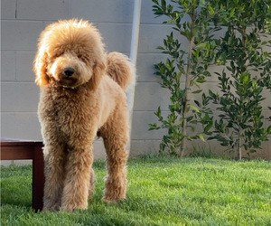 Father of the Goldendoodle-Poodle (Standard) Mix puppies born on 08/14/2020