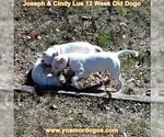 Small Photo #165 Dogo Argentino Puppy For Sale in PINEVILLE, MO, USA
