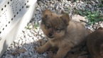 Pomeranian Puppy For Sale in MARSHFIELD, MO