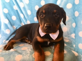 View Ad Rottweiler Puppy For Sale Pennsylvania Quarryville Usa