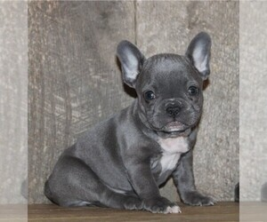 French Bulldog Puppy for sale in CHESTERTON, IN, USA