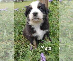 Australian Shepherd Puppy for sale in TAYLOR, TX, USA