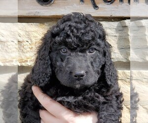 Bernedoodle Puppy for Sale in CLARE, Illinois USA