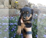 Image preview for Ad Listing. Nickname: Rott pups