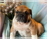 Small #2 English Bulldog
