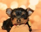Yorkshire Terrier Puppy For Sale in BATTLE GROUND, Washington,