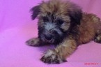 Soft Coated Wheaten Terrier Puppy For Sale in PATERSON, NJ