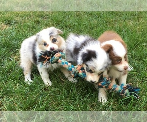 Australian Shepherd Puppy for sale in CLIVE, IA, USA