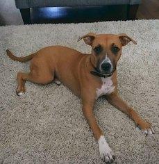 Boxador Dog for Adoption in DALLAS, Texas USA
