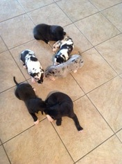 Great Dane Puppy For Sale in ROGERS, AR, USA