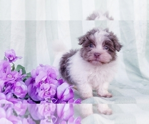 Havanese Puppy for Sale in APPLE CREEK, Ohio USA