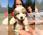 Puppy 8 Great Pyrenees