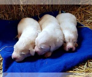 Great Pyrenees Puppy for Sale in LEBANON, Iowa USA