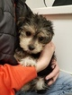 Morkie Puppy For Sale in THURMONT, Maryland,