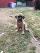 Cane Corso Puppy For Sale in KENT, WA,
