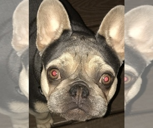 Mother of the French Bulldog puppies born on 12/16/2020