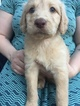 Labradoodle Puppy For Sale in SNOHOMISH, Washington,
