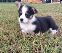 Pembroke Welsh Corgi Puppy For Sale in IVY, VA, USA