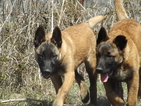 Belgian Malinois Puppy For Sale in FERRIS, Texas,