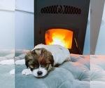 Puppy 7 Jack Russell Terrier-Shih Tzu Mix