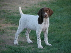 German Shorthaired Pointer Puppy For Sale in MESA, AZ