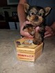 Yorkshire Terrier Puppy For Sale in YOUNGSTOWN, FL, USA