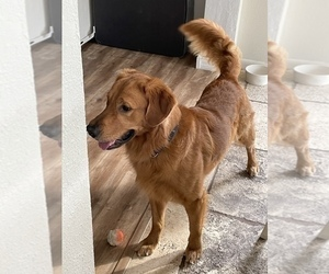 Father of the Golden Retriever puppies born on 05/17/2021