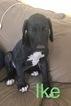 Great Dane Puppy For Sale in SAN BERNARDINO, California,