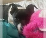 Small #2 Labrador Retriever-Rat Terrier Mix