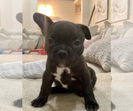 Small Photo #4 French Bulldog Puppy For Sale in EL PASO, TX, USA