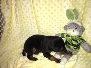 Doberman Pinscher Puppy For Sale in OWASSO, OK