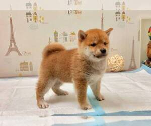 Shiba Inu Puppy for sale in ALHAMBRA, CA, USA